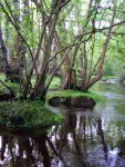 Alders in the New Forest (Jim Champion)